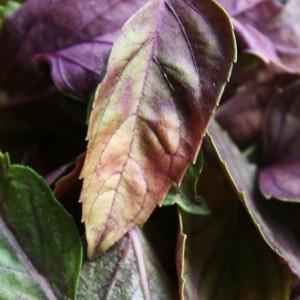 Purple Basil  Herbal Tea Nutritious Natural Dried 50g Packets